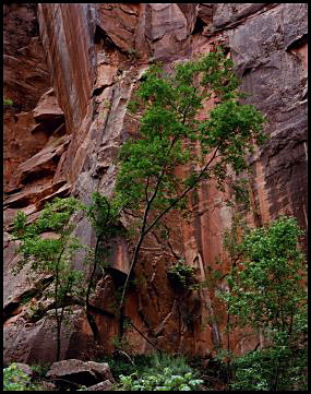 Tree and Canyon Wall, Zion Canyon National Park